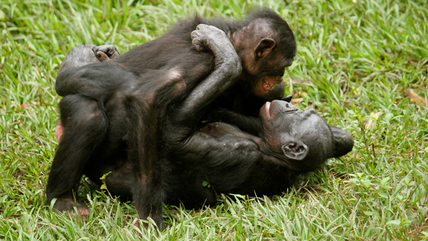 A female-female pair of bonobos interact sexually (c) Zanna Clay for Amis de Bonobos du Congo