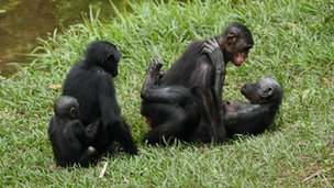 A female-female pair of bonobos interact sexually while others observe  (c) Zanna Clay for Amis de Bonobos du Congo