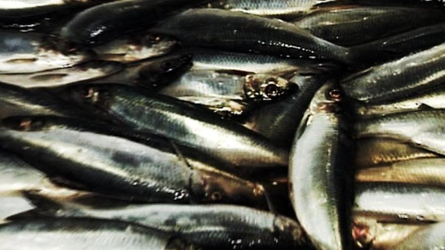 Freshly caught mackerel