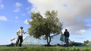 Greek olive farmers planting tree
