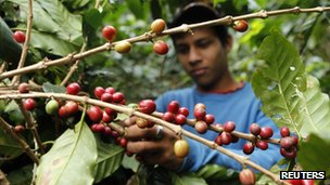 A boy picks ripe coffee beans at a coffee plantation - file photo