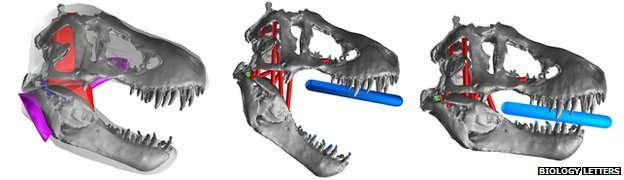 Computer model of T. rex skull (c) Karl Bates