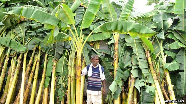 Man in banana plantation