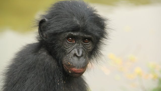A female bonobo (c) Zanna Clay for Amis de Bonobos du Congo
