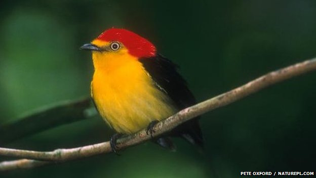 Wire-tailed manakin (c) P Oxford  / Naturepl.com