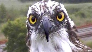 Monty the Osprey