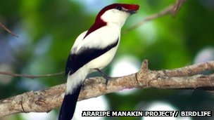 Araripe manakin (c) Araripe manakin project / Birdlife