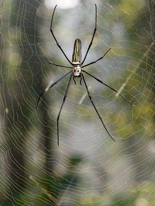 Nephila maculata spider