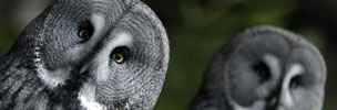 Grey owls