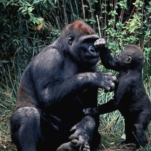 Gorilla and child