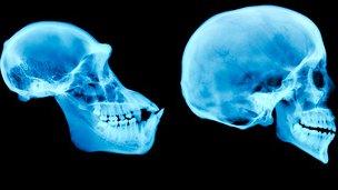 Gorlla and human skull