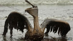 Pelican affected by oil in Loiusiana, June 2010