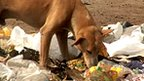 Dog eating rubbish 