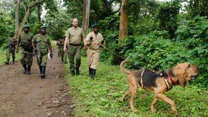 Bloodhounds have begun working with rangers at Virunga National Park to track down poachers
