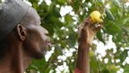 An Ivorian farmer examines a cashew nut hanging from the tree