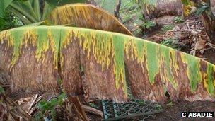 Banana leaf with black leaf streak disease