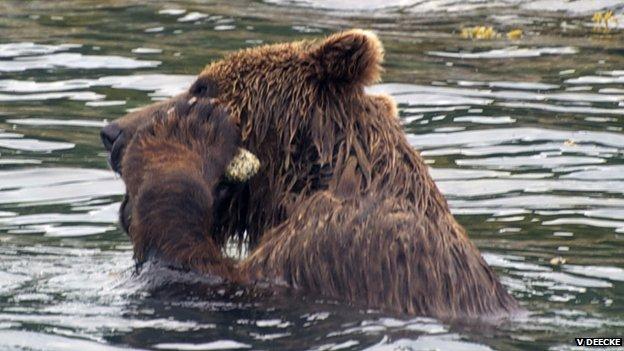 Brown bear exfoliating its face (c) Volker Deecke