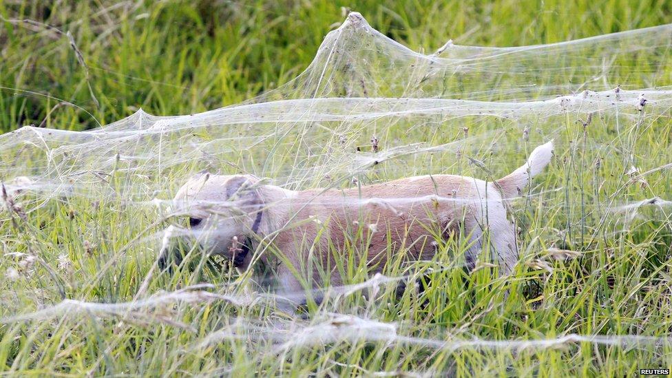 Australia Spider Webs