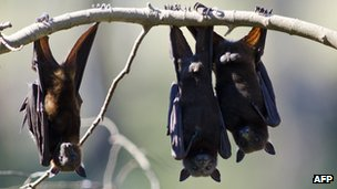 File picture taken 20 July, 2011 of fruit bats as they hang from a tree in Gayndah, South Eastern Queensland