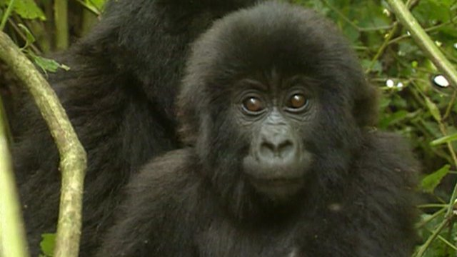 Young gorilla stares ahead