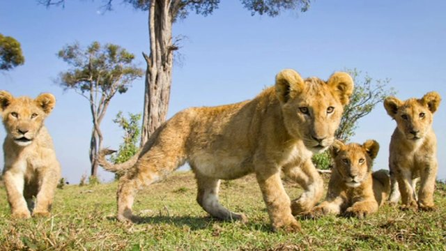Lion cubs filmed by the beetlecam