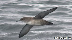 Balearic Shearwater in flight