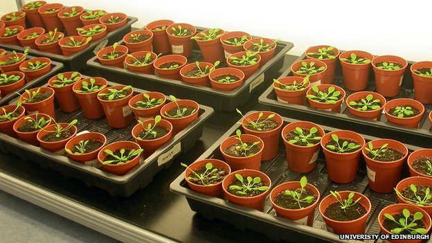 Cress plants in the Uni of Edinburgh lab (c) Halliday Lab, University of Edinburgh