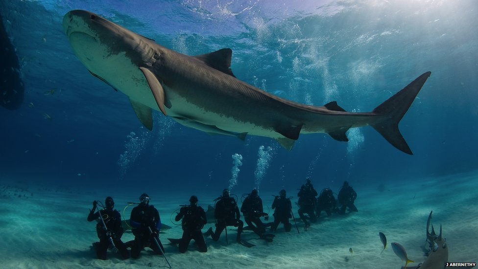 BBC Nature - In pictures: Satellite tagging tiger sharks