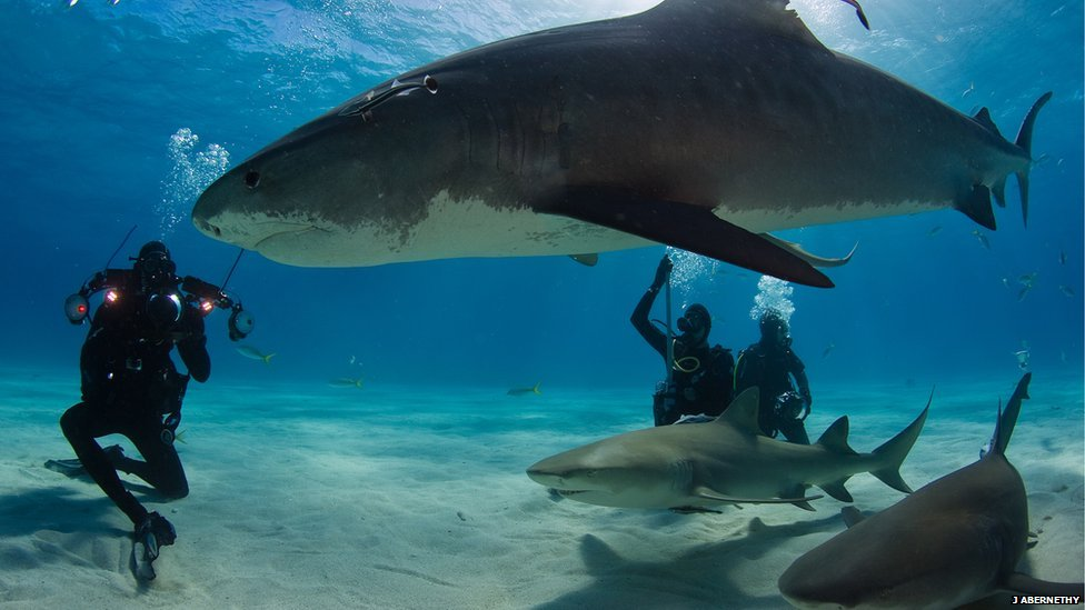 Tiger Sharks Pictures Tiger Sharks to Come by