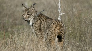 Iberian lynx (Guillermo Lopez)