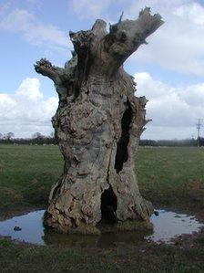 The landmark oak