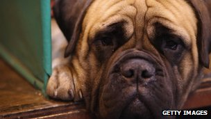 A Boxer looks pensive as it lies in its kennel.