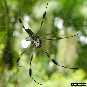 Female Nephila clavipes spider on a web (c) Kenji Nishida