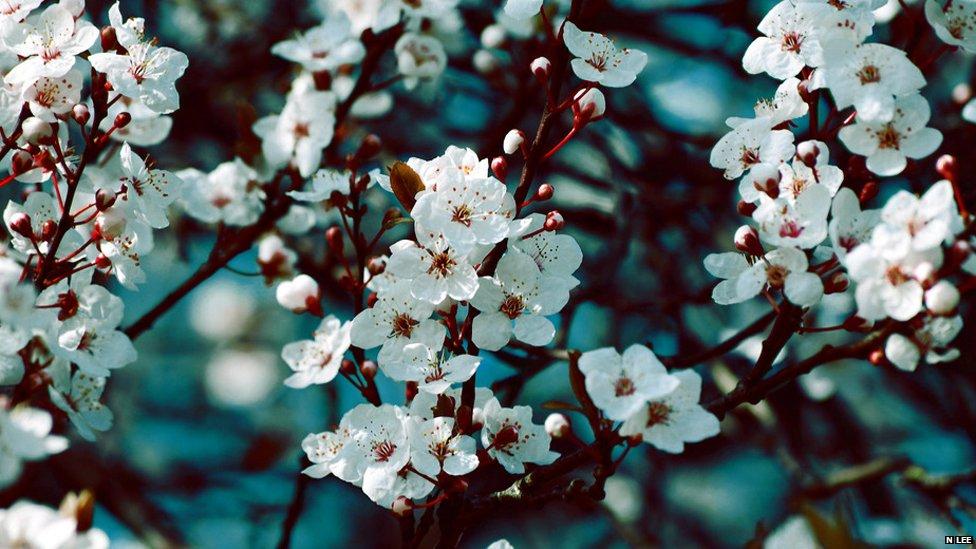 A mass of blush white blossom  Blossom