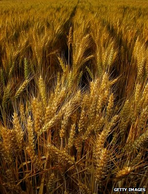 Wheat field (Getty Images)