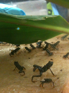 Atelopus certus babies born in captivity