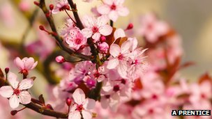 Explosion of cherry blossom (c) Alistair Prentice