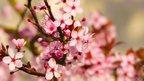 Explosion of cherry blossom (c) Alistair Prentice