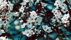 A mass of blush white blossom (c) Nick Lee