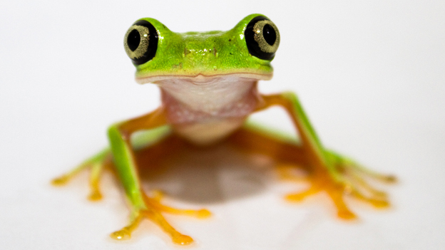 Lemur leaf frog (critically endangered)
