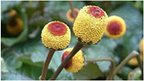 Ampika spilanthes