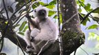 Silky sifaka in the trees of Marojejy National Park (c) Tuppence Stone