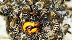Honeybees attacking a hornet (c) M Ono/ Tamagawa University