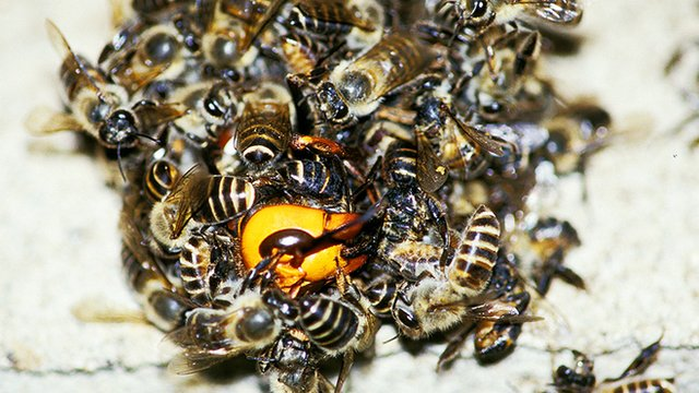 Bees forming ball around hornet