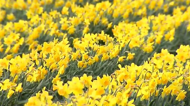 Daffodils growing in a field