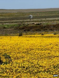 A field of blooming flowers on August 10, 2009 on the outskirt of the small town of Nieuwoudtville in the Northern Cape