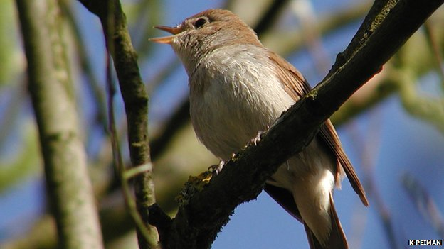 Singing male nightingale (c) K Peiman