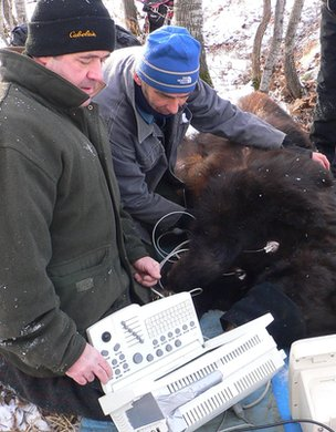 Researchers carry out health checks on an adult black bear