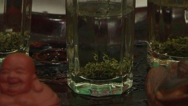 Tea leaves grown from panda poo inside a glass
