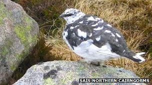 Ptarmigan. Pic: SAIS Northern Cairngorms
